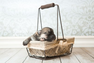 puppy64 week1 BowTiePomsky.com Bowtie Pomsky Puppy For Sale Husky Pomeranian Mini Dog Spokane WA Breeder Blue Eyes Pomskies web3
