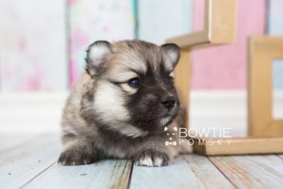 puppy64 week3 BowTiePomsky.com Bowtie Pomsky Puppy For Sale Husky Pomeranian Mini Dog Spokane WA Breeder Blue Eyes Pomskies web2