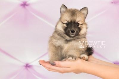 puppy64 week5 BowTiePomsky.com Bowtie Pomsky Puppy For Sale Husky Pomeranian Mini Dog Spokane WA Breeder Blue Eyes Pomskies web6