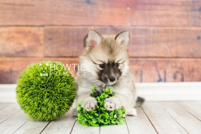 puppy64 week7 BowTiePomsky.com Bowtie Pomsky Puppy For Sale Husky Pomeranian Mini Dog Spokane WA Breeder Blue Eyes Pomskies web1