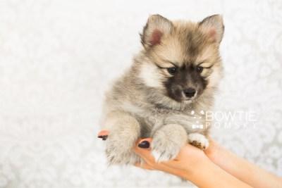puppy64 week7 BowTiePomsky.com Bowtie Pomsky Puppy For Sale Husky Pomeranian Mini Dog Spokane WA Breeder Blue Eyes Pomskies web6