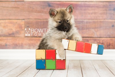 puppy65 week7 BowTiePomsky.com Bowtie Pomsky Puppy For Sale Husky Pomeranian Mini Dog Spokane WA Breeder Blue Eyes Pomskies web5