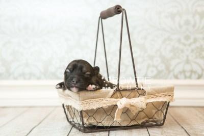 puppy66 week1 BowTiePomsky.com Bowtie Pomsky Puppy For Sale Husky Pomeranian Mini Dog Spokane WA Breeder Blue Eyes Pomskies web3