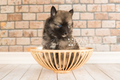puppy66 week5 BowTiePomsky.com Bowtie Pomsky Puppy For Sale Husky Pomeranian Mini Dog Spokane WA Breeder Blue Eyes Pomskies web2