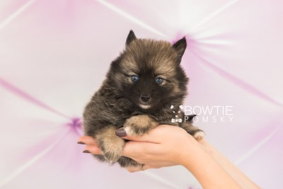 puppy66 week5 BowTiePomsky.com Bowtie Pomsky Puppy For Sale Husky Pomeranian Mini Dog Spokane WA Breeder Blue Eyes Pomskies web4