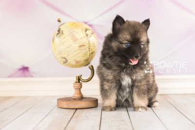 puppy66 week5 BowTiePomsky.com Bowtie Pomsky Puppy For Sale Husky Pomeranian Mini Dog Spokane WA Breeder Blue Eyes Pomskies web5