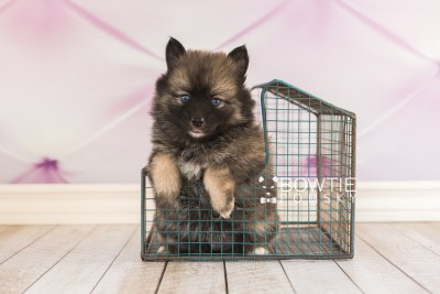 puppy66 week5 BowTiePomsky.com Bowtie Pomsky Puppy For Sale Husky Pomeranian Mini Dog Spokane WA Breeder Blue Eyes Pomskies web6