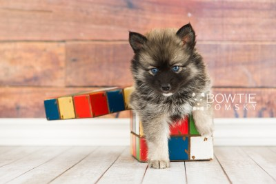puppy66 week7 BowTiePomsky.com Bowtie Pomsky Puppy For Sale Husky Pomeranian Mini Dog Spokane WA Breeder Blue Eyes Pomskies web1