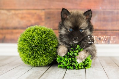 puppy66 week7 BowTiePomsky.com Bowtie Pomsky Puppy For Sale Husky Pomeranian Mini Dog Spokane WA Breeder Blue Eyes Pomskies web3