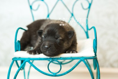 puppy67 week1 BowTiePomsky.com Bowtie Pomsky Puppy For Sale Husky Pomeranian Mini Dog Spokane WA Breeder Blue Eyes Pomskies web1