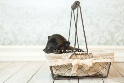 puppy67 week1 BowTiePomsky.com Bowtie Pomsky Puppy For Sale Husky Pomeranian Mini Dog Spokane WA Breeder Blue Eyes Pomskies web2