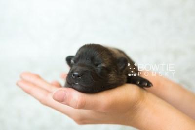 puppy67 week1 BowTiePomsky.com Bowtie Pomsky Puppy For Sale Husky Pomeranian Mini Dog Spokane WA Breeder Blue Eyes Pomskies web6