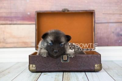 puppy67 week3 BowTiePomsky.com Bowtie Pomsky Puppy For Sale Husky Pomeranian Mini Dog Spokane WA Breeder Blue Eyes Pomskies web1