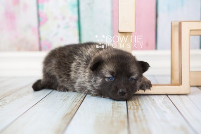 puppy67 week3 BowTiePomsky.com Bowtie Pomsky Puppy For Sale Husky Pomeranian Mini Dog Spokane WA Breeder Blue Eyes Pomskies web4