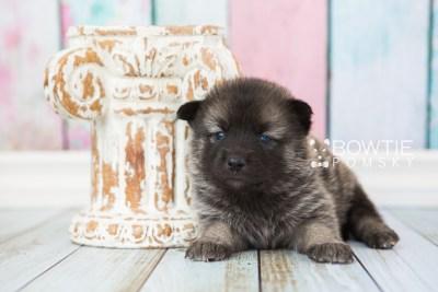 puppy67 week3 BowTiePomsky.com Bowtie Pomsky Puppy For Sale Husky Pomeranian Mini Dog Spokane WA Breeder Blue Eyes Pomskies web6