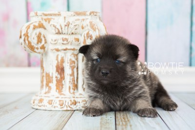 puppy67 week3 BowTiePomsky.com Bowtie Pomsky Puppy For Sale Husky Pomeranian Mini Dog Spokane WA Breeder Blue Eyes Pomskies web6