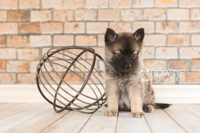 puppy67 week5 BowTiePomsky.com Bowtie Pomsky Puppy For Sale Husky Pomeranian Mini Dog Spokane WA Breeder Blue Eyes Pomskies web4