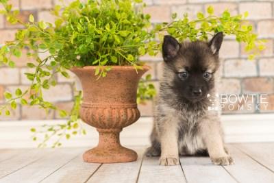 puppy67 week5 BowTiePomsky.com Bowtie Pomsky Puppy For Sale Husky Pomeranian Mini Dog Spokane WA Breeder Blue Eyes Pomskies web5
