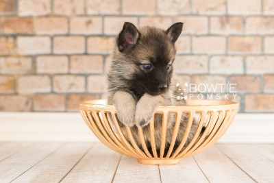 puppy67 week5 BowTiePomsky.com Bowtie Pomsky Puppy For Sale Husky Pomeranian Mini Dog Spokane WA Breeder Blue Eyes Pomskies web6