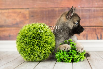 puppy67 week7 BowTiePomsky.com Bowtie Pomsky Puppy For Sale Husky Pomeranian Mini Dog Spokane WA Breeder Blue Eyes Pomskies web4