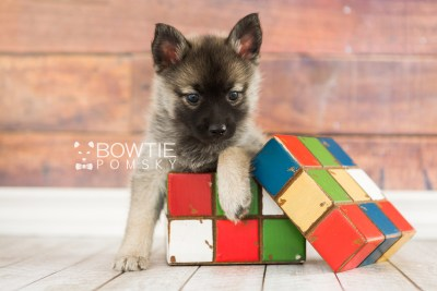 puppy67 week7 BowTiePomsky.com Bowtie Pomsky Puppy For Sale Husky Pomeranian Mini Dog Spokane WA Breeder Blue Eyes Pomskies web5