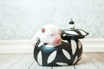 puppy68 week1 BowTiePomsky.com Bowtie Pomsky Puppy For Sale Husky Pomeranian Mini Dog Spokane WA Breeder Blue Eyes Pomskies web2