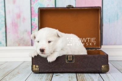 puppy68 week3 BowTiePomsky.com Bowtie Pomsky Puppy For Sale Husky Pomeranian Mini Dog Spokane WA Breeder Blue Eyes Pomskies web2