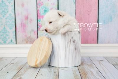 puppy68 week3 BowTiePomsky.com Bowtie Pomsky Puppy For Sale Husky Pomeranian Mini Dog Spokane WA Breeder Blue Eyes Pomskies web3