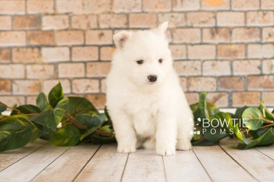 puppy68 week5 BowTiePomsky.com Bowtie Pomsky Puppy For Sale Husky Pomeranian Mini Dog Spokane WA Breeder Blue Eyes Pomskies web2