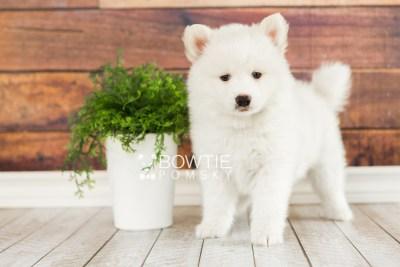 puppy68 week7 BowTiePomsky.com Bowtie Pomsky Puppy For Sale Husky Pomeranian Mini Dog Spokane WA Breeder Blue Eyes Pomskies web1