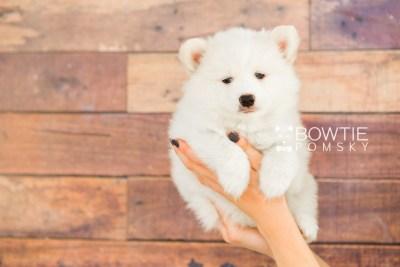 puppy68 week7 BowTiePomsky.com Bowtie Pomsky Puppy For Sale Husky Pomeranian Mini Dog Spokane WA Breeder Blue Eyes Pomskies web3