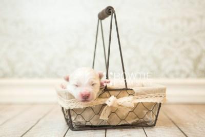 puppy69 week1 BowTiePomsky.com Bowtie Pomsky Puppy For Sale Husky Pomeranian Mini Dog Spokane WA Breeder Blue Eyes Pomskies web5