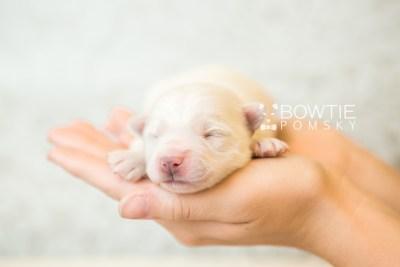 puppy69 week1 BowTiePomsky.com Bowtie Pomsky Puppy For Sale Husky Pomeranian Mini Dog Spokane WA Breeder Blue Eyes Pomskies web6