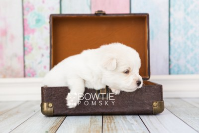puppy69 week3 BowTiePomsky.com Bowtie Pomsky Puppy For Sale Husky Pomeranian Mini Dog Spokane WA Breeder Blue Eyes Pomskies web4