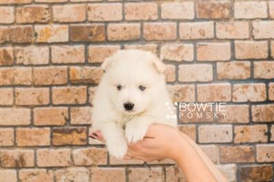 puppy69 week5 BowTiePomsky.com Bowtie Pomsky Puppy For Sale Husky Pomeranian Mini Dog Spokane WA Breeder Blue Eyes Pomskies web3