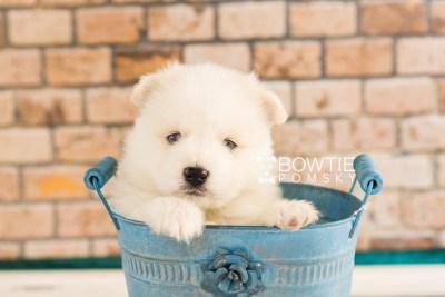 puppy69 week5 BowTiePomsky.com Bowtie Pomsky Puppy For Sale Husky Pomeranian Mini Dog Spokane WA Breeder Blue Eyes Pomskies web4