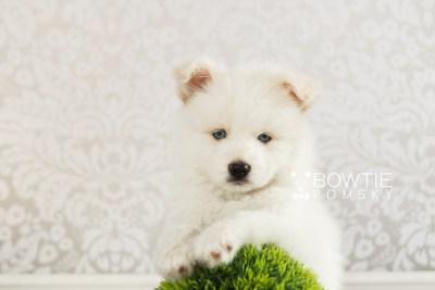 puppy69 week7 BowTiePomsky.com Bowtie Pomsky Puppy For Sale Husky Pomeranian Mini Dog Spokane WA Breeder Blue Eyes Pomskies web2