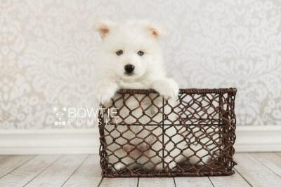 puppy69 week7 BowTiePomsky.com Bowtie Pomsky Puppy For Sale Husky Pomeranian Mini Dog Spokane WA Breeder Blue Eyes Pomskies web3
