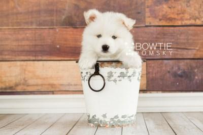 puppy69 week7 BowTiePomsky.com Bowtie Pomsky Puppy For Sale Husky Pomeranian Mini Dog Spokane WA Breeder Blue Eyes Pomskies web5