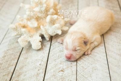 puppy70 week1 BowTiePomsky.com Bowtie Pomsky Puppy For Sale Husky Pomeranian Mini Dog Spokane WA Breeder Blue Eyes Pomskies web4