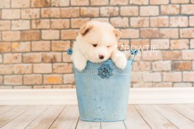 puppy70 week5 BowTiePomsky.com Bowtie Pomsky Puppy For Sale Husky Pomeranian Mini Dog Spokane WA Breeder Blue Eyes Pomskies web1
