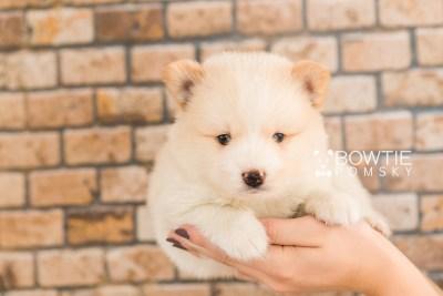 puppy70 week5 BowTiePomsky.com Bowtie Pomsky Puppy For Sale Husky Pomeranian Mini Dog Spokane WA Breeder Blue Eyes Pomskies web2