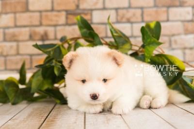puppy70 week5 BowTiePomsky.com Bowtie Pomsky Puppy For Sale Husky Pomeranian Mini Dog Spokane WA Breeder Blue Eyes Pomskies web4