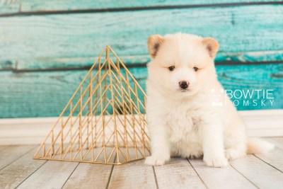 puppy70 week5 BowTiePomsky.com Bowtie Pomsky Puppy For Sale Husky Pomeranian Mini Dog Spokane WA Breeder Blue Eyes Pomskies web5