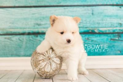 puppy70 week5 BowTiePomsky.com Bowtie Pomsky Puppy For Sale Husky Pomeranian Mini Dog Spokane WA Breeder Blue Eyes Pomskies web6