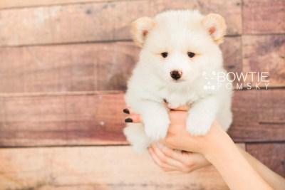puppy70 week7 BowTiePomsky.com Bowtie Pomsky Puppy For Sale Husky Pomeranian Mini Dog Spokane WA Breeder Blue Eyes Pomskies web2