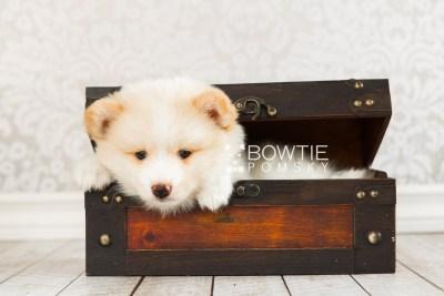 puppy70 week7 BowTiePomsky.com Bowtie Pomsky Puppy For Sale Husky Pomeranian Mini Dog Spokane WA Breeder Blue Eyes Pomskies web4