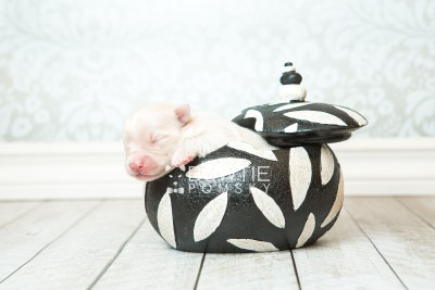 puppy72 week1 BowTiePomsky.com Bowtie Pomsky Puppy For Sale Husky Pomeranian Mini Dog Spokane WA Breeder Blue Eyes Pomskies web1