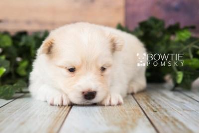 puppy72 week3 BowTiePomsky.com Bowtie Pomsky Puppy For Sale Husky Pomeranian Mini Dog Spokane WA Breeder Blue Eyes Pomskies web4