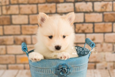 puppy72 week5 BowTiePomsky.com Bowtie Pomsky Puppy For Sale Husky Pomeranian Mini Dog Spokane WA Breeder Blue Eyes Pomskies web2